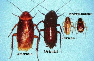 Cockroach-Allergens_ER0409