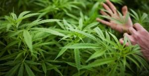 196161-cannabis